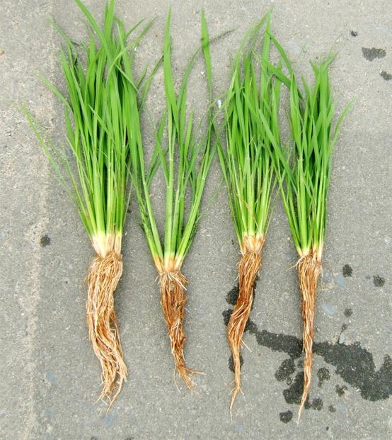 稲の比較1