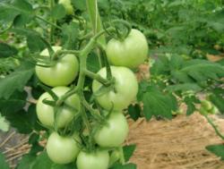トマト事例
