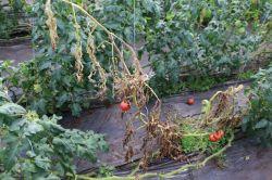 トマト萎凋病