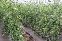 トマト萎凋病対策12