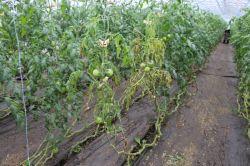 トマト萎凋病対策13