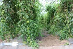 トマト萎凋病対策2
