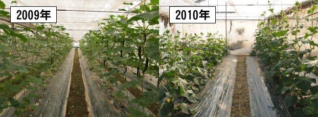 きゅうりのトリコデルマ菌導入事例